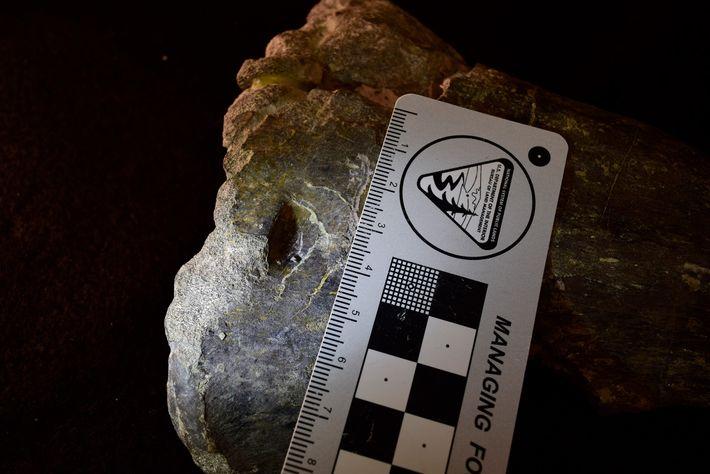 Esta punción en el hueso de la tibia de un fósil del Allosaurus le dice a ...