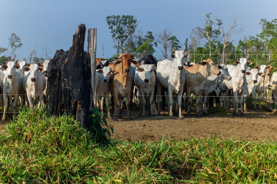 Las vacas se agrupan en tierras donde, alguna vez, hubo selva. Los ganaderos aumentaron el forraje ...