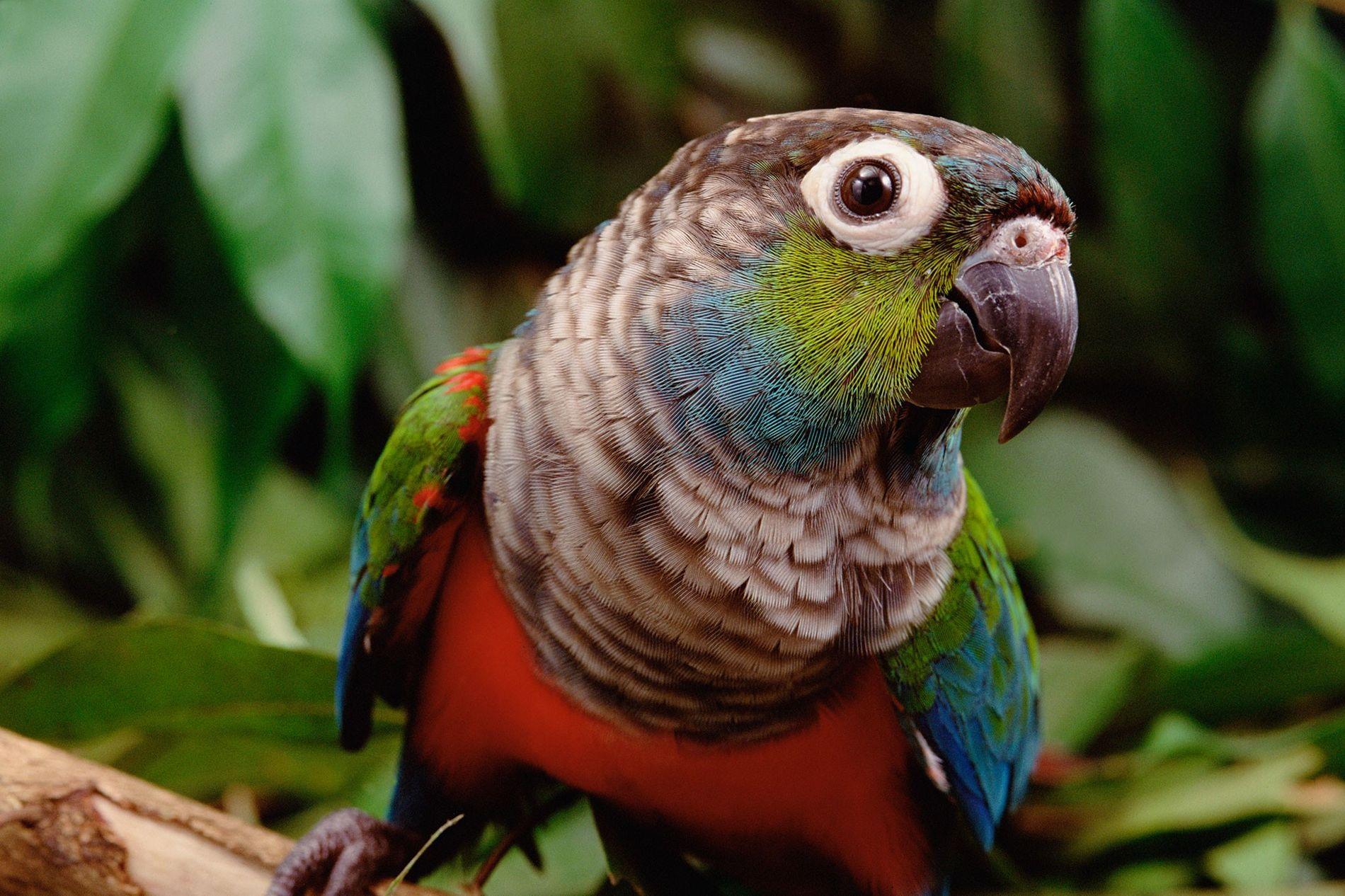 Los pericos perla son una de las 1500 especies que habitan la Amazonía. A medida que ...