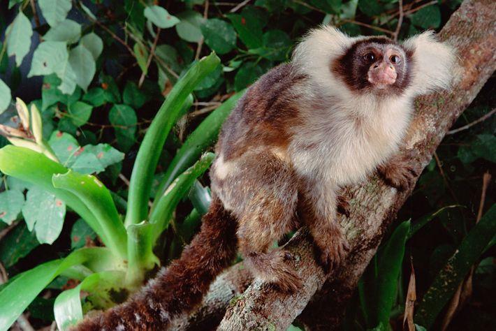 Imagen de un tití oreja de Santarem en un bosque brasileño sano. Algunas especies de monos ...