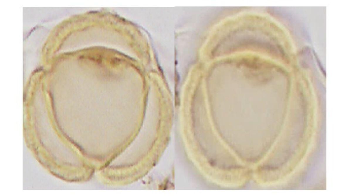 Fotografía microscópica de grano de polen del Plioceno con afinidad al género Ambrosia (Asteraceae).