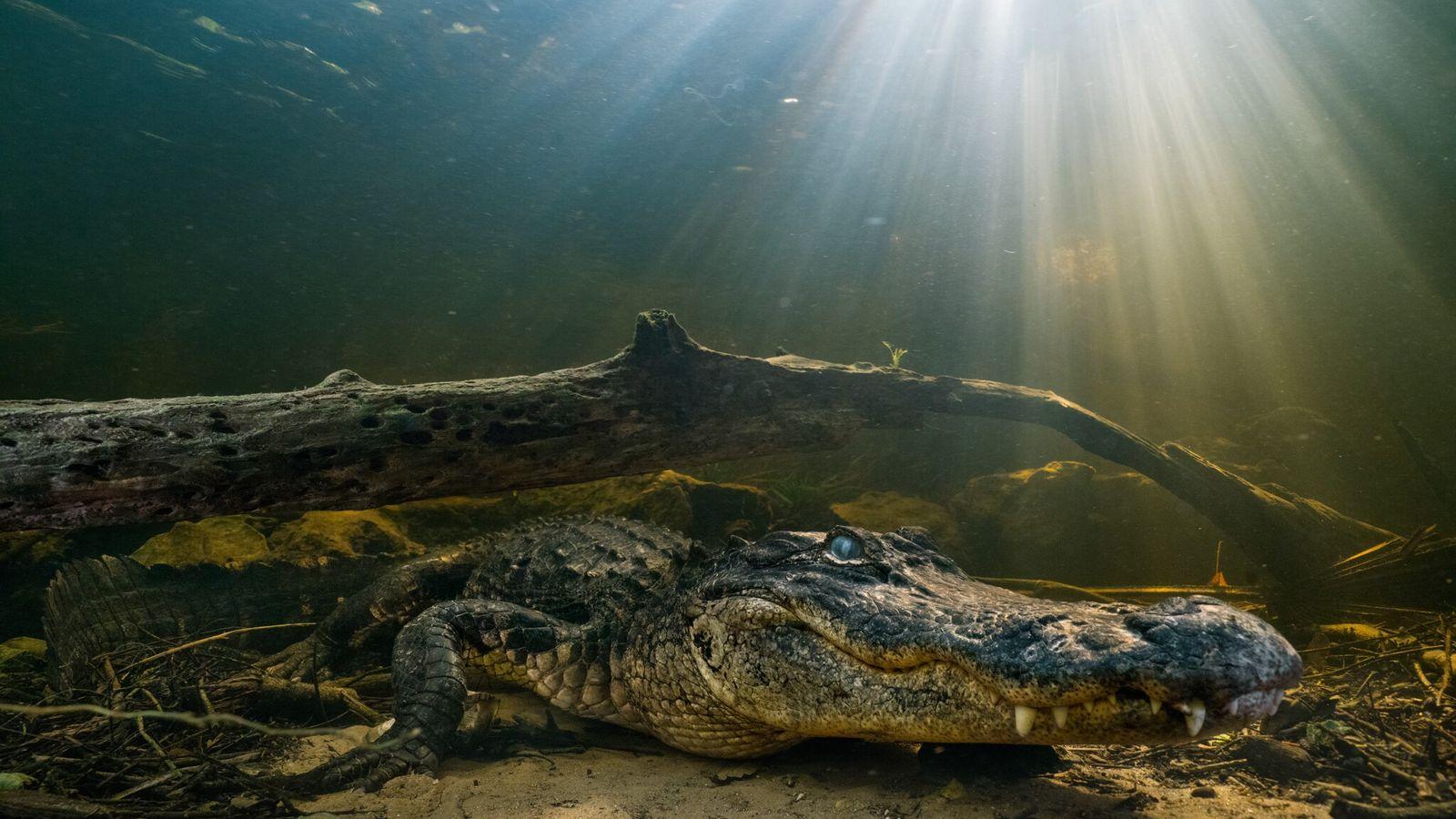 Los aligátores norteamericanos son vulnerables de jóvenes y son presa de aves, mapaches y otros caimanes. Un ...