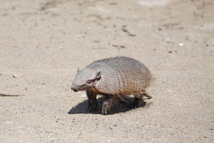 Las poblaciones locales de armadillos peludos andinos, que viven a grandes alturas en Bolivia y en ...