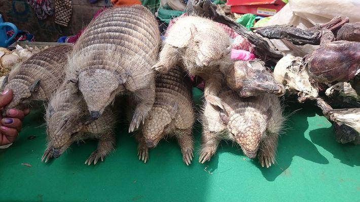 Aunque es ilegal en Bolivia vender los armadillos y las chucherías hechas con ellos, pueden comprarse ...
