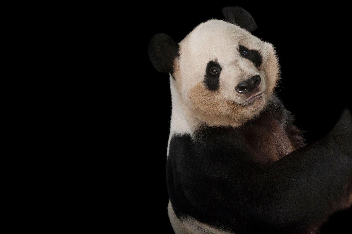 Los pandas gigantes están en peligro y cambian, lo que ha sido una batalla cuesta arriba ...