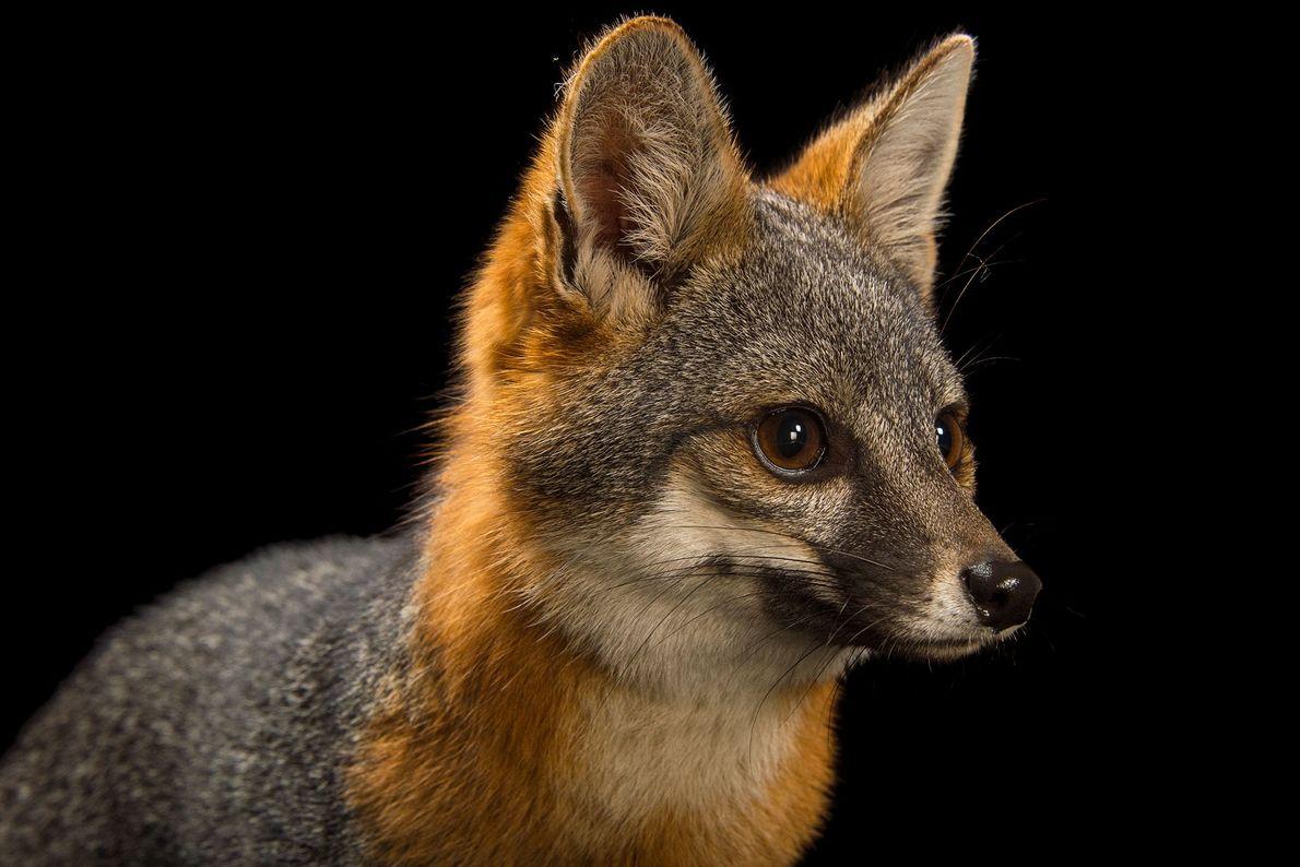 Aunque el zorro isleño es uno de los zorros más pequeños de la tierra, es el ...