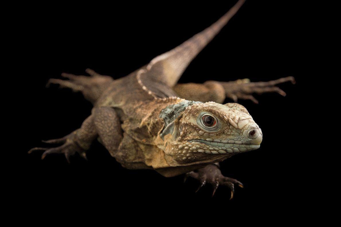 Las iguanas azules son lagartos resistentes de cuerpo grande que viven mucho y se reproducen con ...