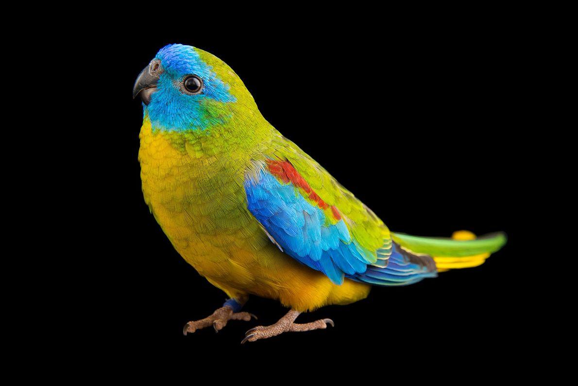 Los loros turquesa machos y hembras tienen un plumaje de colores brillantes, pero los machos lucen ...