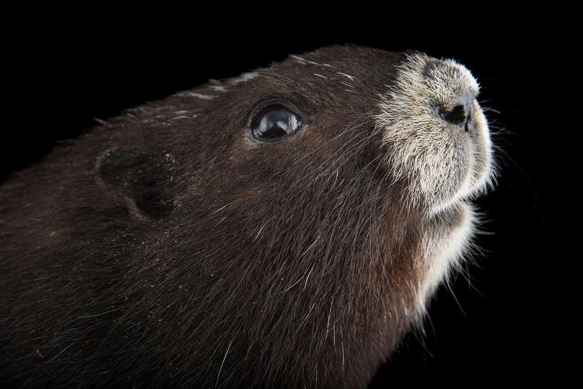 La marmota de la isla de Vancouver es la especie nativa más amenazada de Canadá y ...