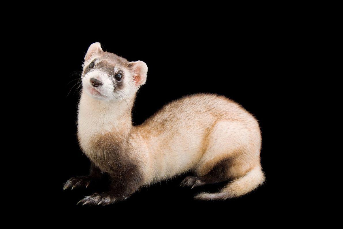 El hurón de patas negras es el único hurón nativo de América del Norte. Estos roedores ...