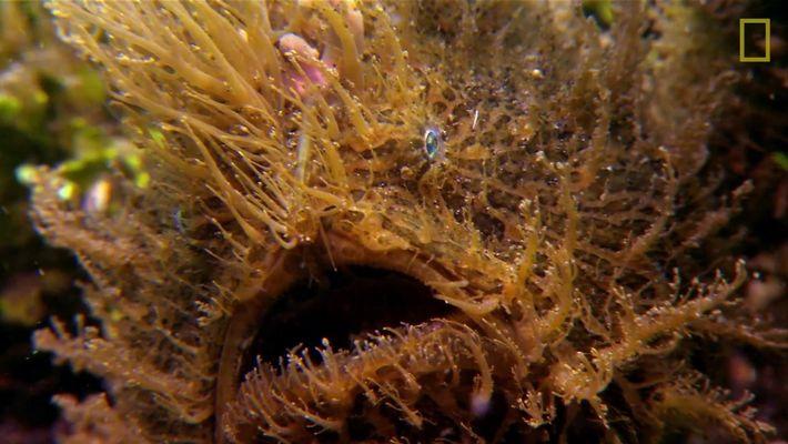 El increíble pez sapo peludo