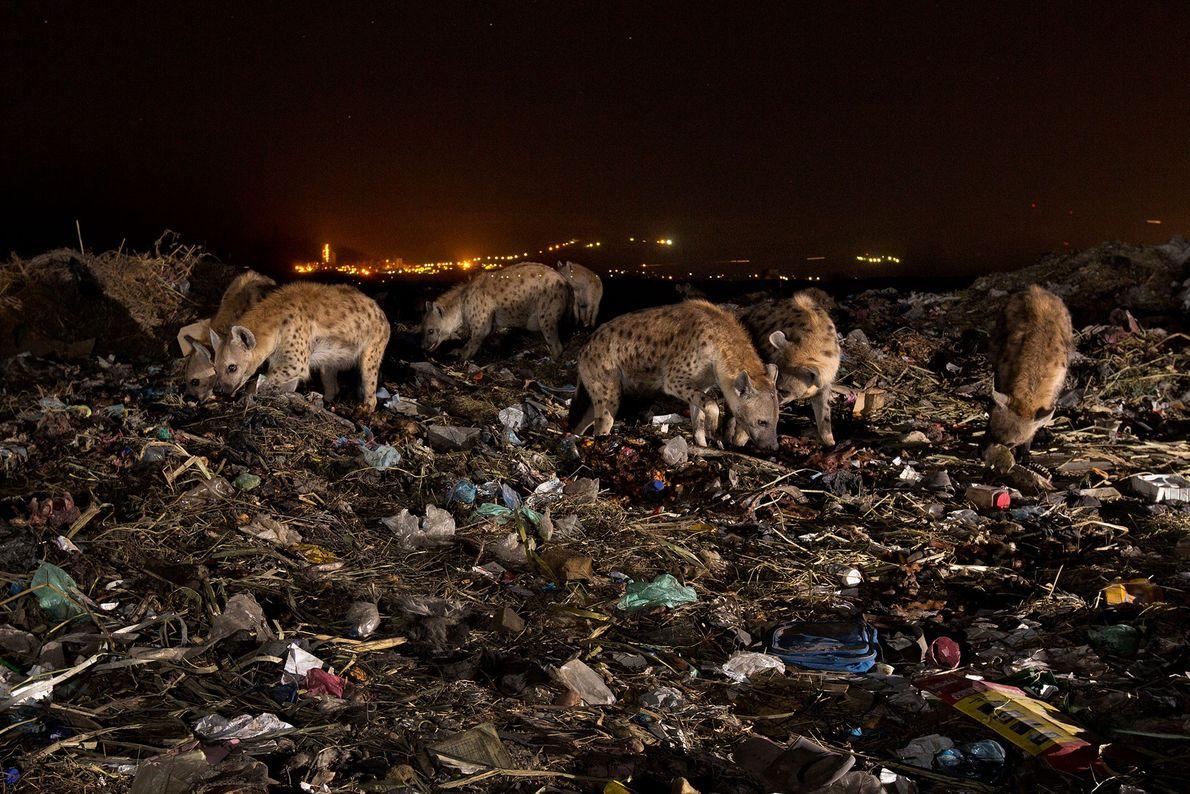 Una manada de hienas busca comida por montículos de basura en el basurero de la ciudad ...