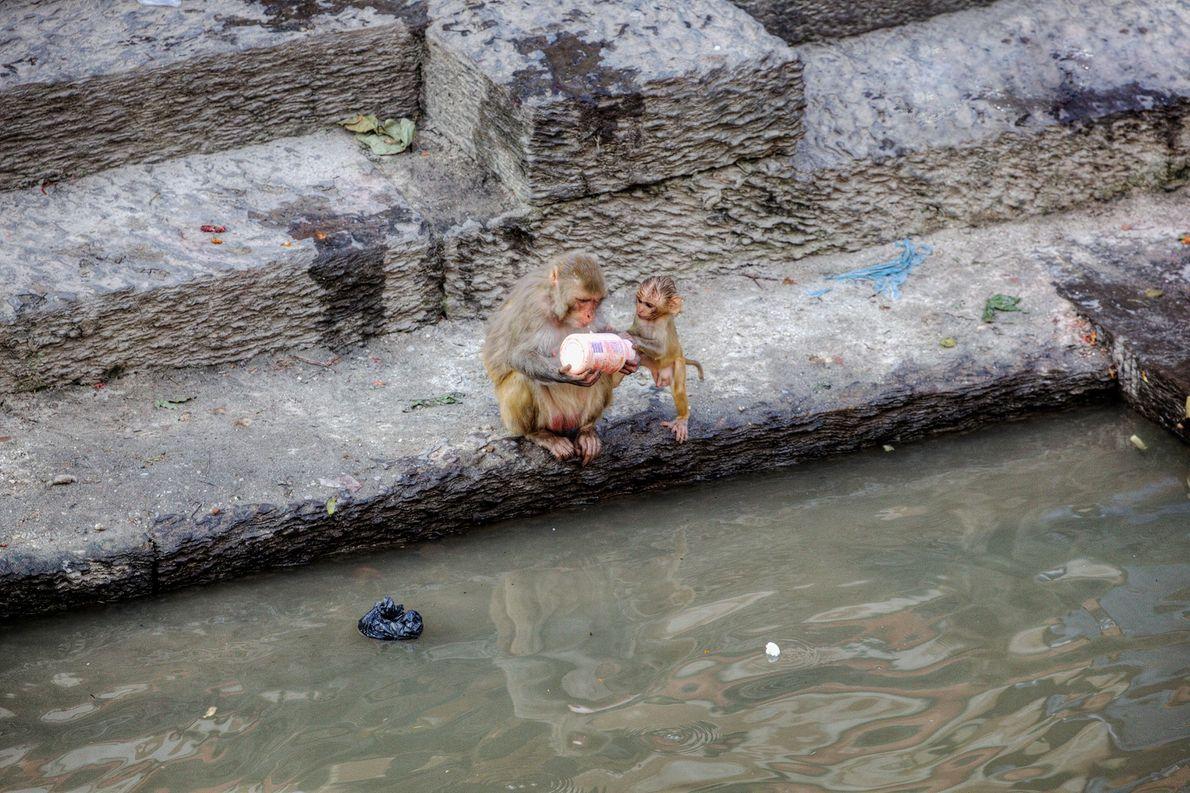 Dos curiosos macacos Rhesus inspeccionan una botella de plástico en las afueras del templo Pashupatinath en ...