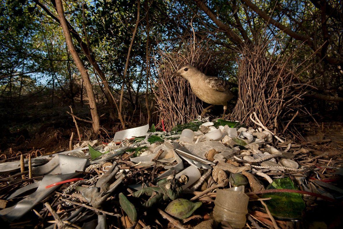 """Una """"Chlamydera nuchalis"""" en Queensland, Australia, decora su casa con vidrios rotos, juguetes de plástico y …"""