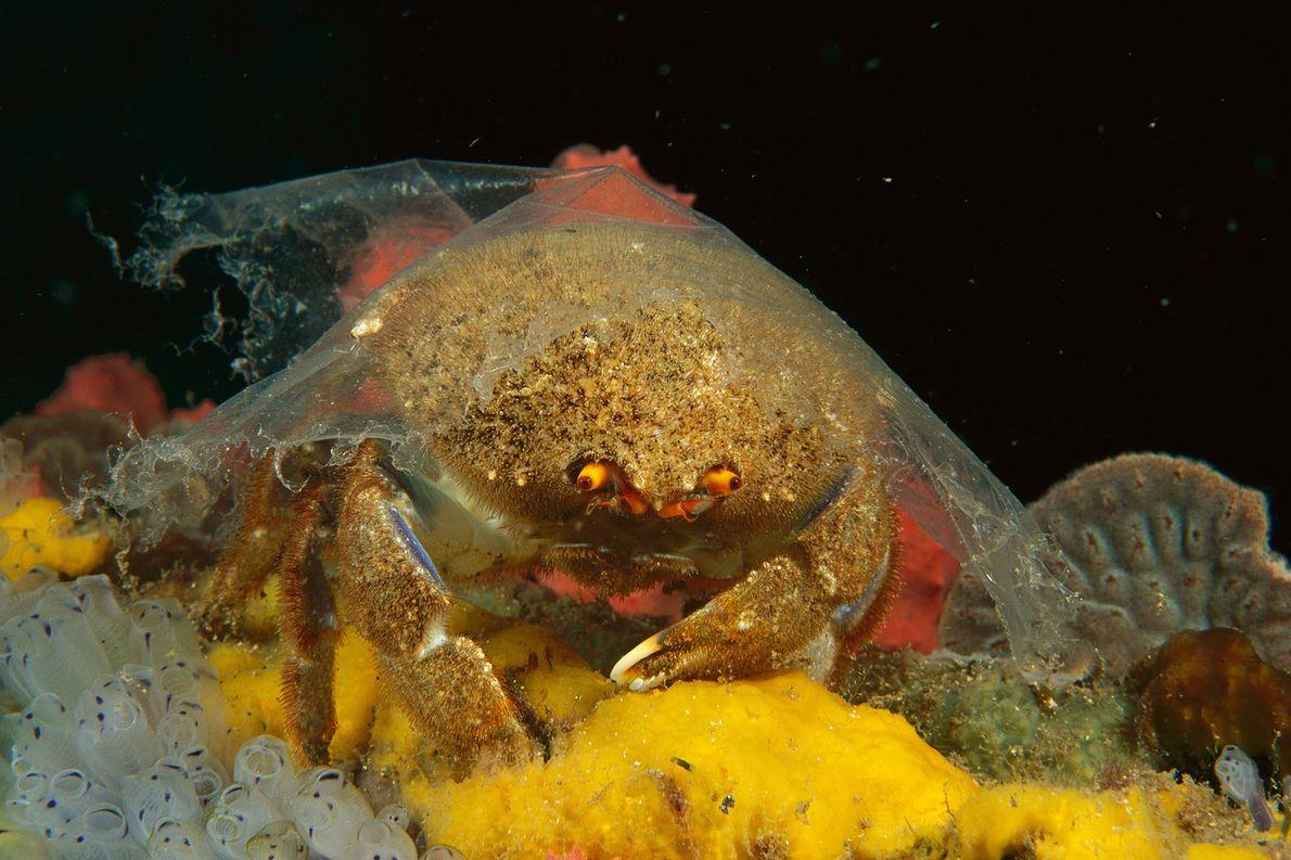 Un cangrejo esponja luce una lámina de plástico transparente sobre su caparazón en Edithburgh, Australia. Los …