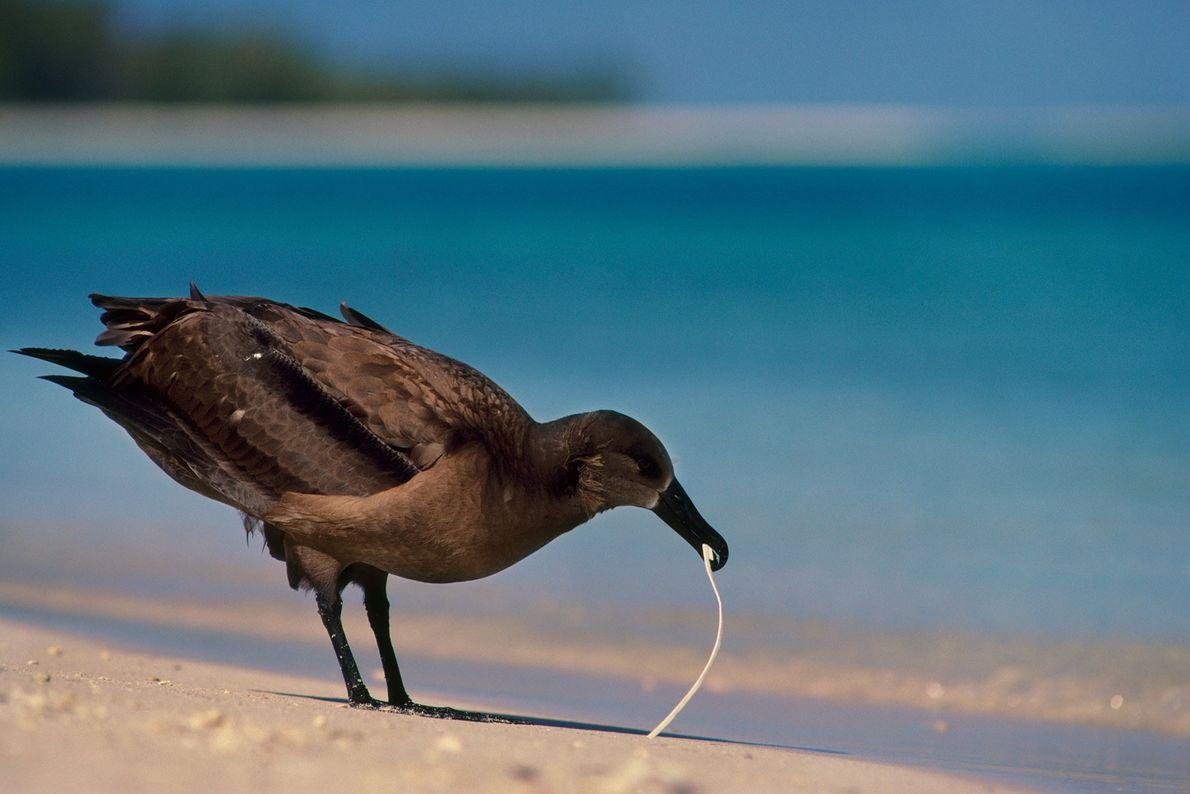 Un albatros de patas negras masca un trozo de plástico en las islas de Sotavento de ...