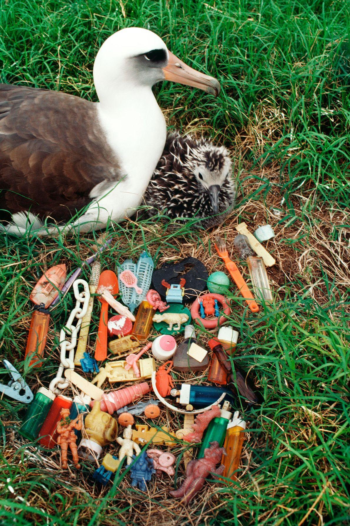 Un albatros de Laysan y su cría descansan cerca de una montaña de basura regurgitada. Algunas ...