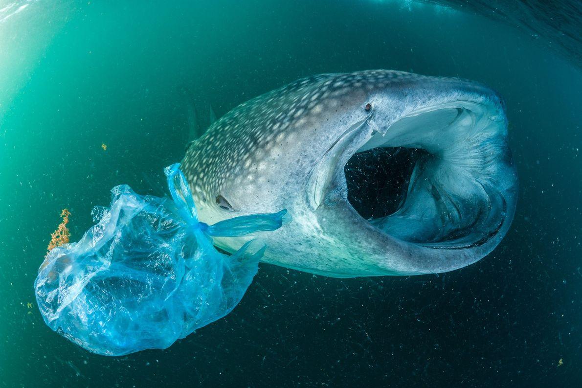 Un tiburón ballena nada al costado de una bolsa de plástico en el Golfo de Adén, …