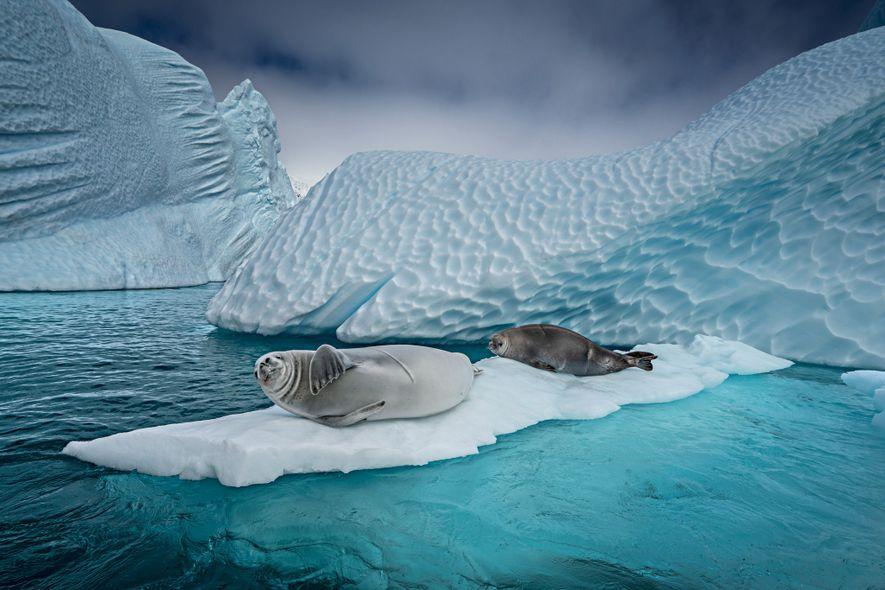 Las focas cangrejeras se deslizan sobre el hielo flotante para tomar una siesta, dar a luz ...