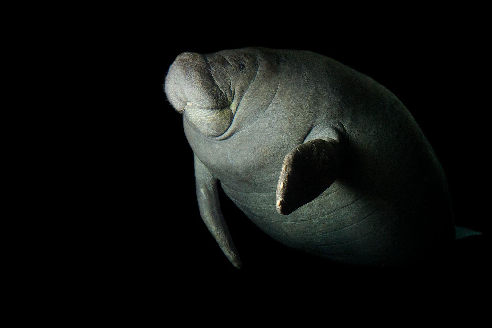 Encontrados en las aguas costeras del Caribe y el Golfo de México, los manatíes antillanos enfrentan ...
