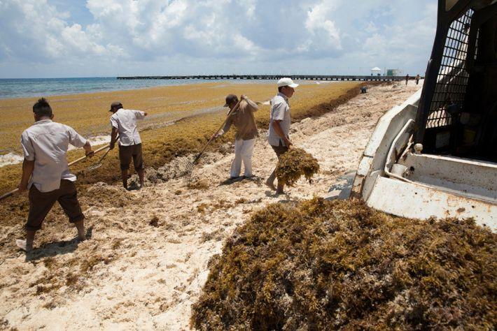 México: Acumulación de sargazo en las playas del Caribe