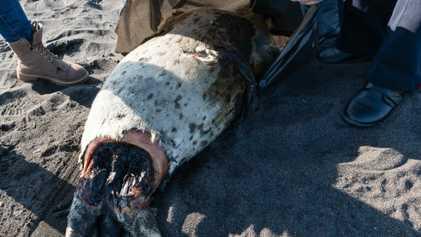 La muerte masiva de fauna marina en la península de Kamchatka podría amenazar a especies vulnerables ...