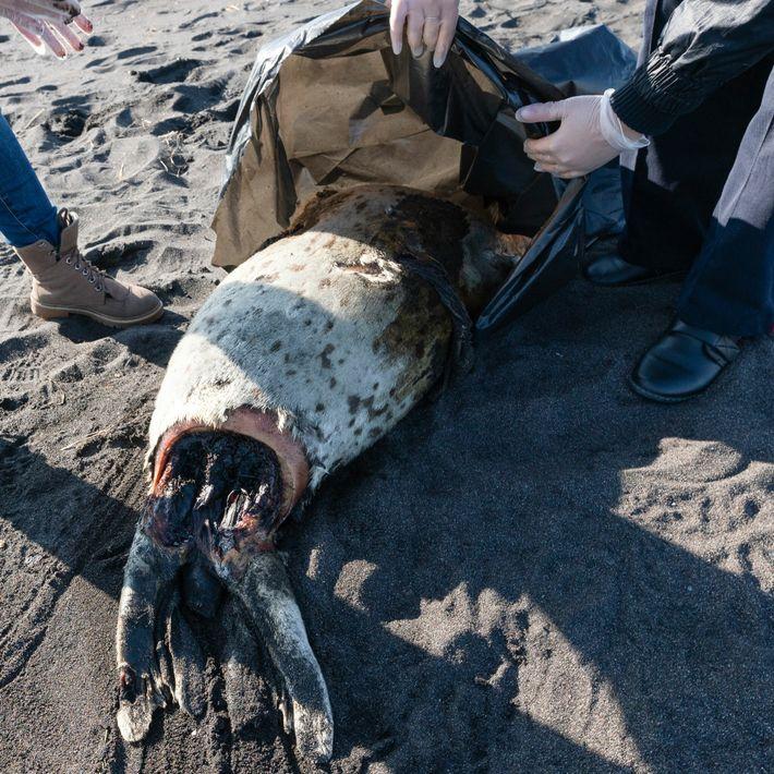 Una foca moteada muerta apareció en la playa Khalaktyrskiy, en el Lejano Oriente de Rusia, junto ...