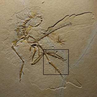 El espécimen deArchaeopteryxde Altmühl incluye improntas de las plumas de los animales.