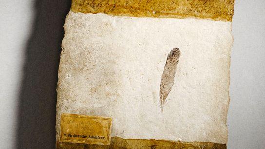 Esta pluma de 150 millones de años, conservada espléndidamente, la primera en descubrirse, se halló en ...