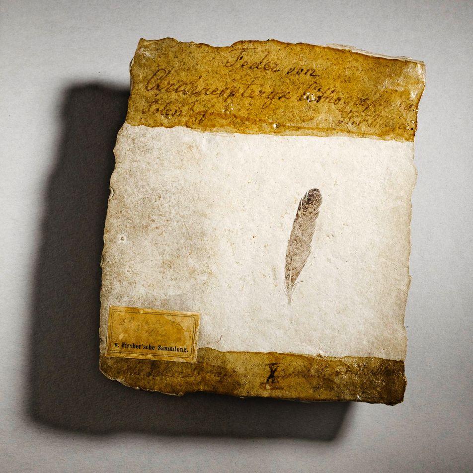 ¿Por qué la primera pluma fósil de dinosaurio de la que se tiene registro ha generado ...