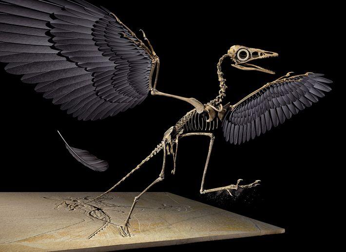 La pluma jurásica, reconstruida aquí en 3D, pertenece al ala izquierda del dinosaurio volador Archaeopteryx.