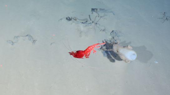 Un camarón rojo camina al lado de una esponja vítrea en la zona en donde el ...