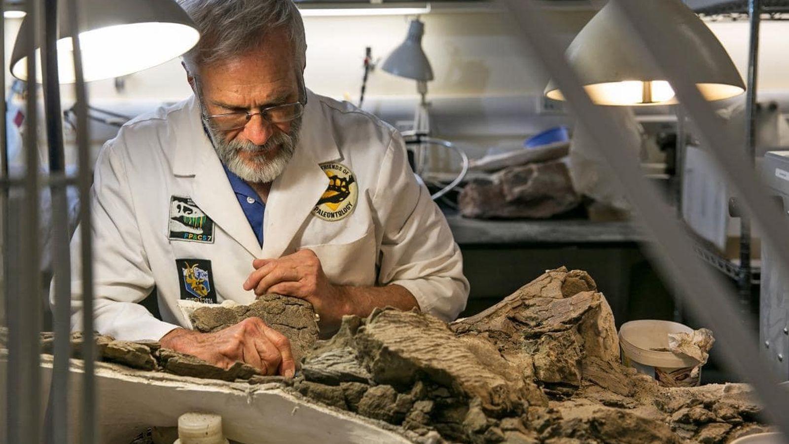 Randy Johnson, paleontólogo voluntario en el Museo de Historia Natural de Utah, prepara con cuidado un ...