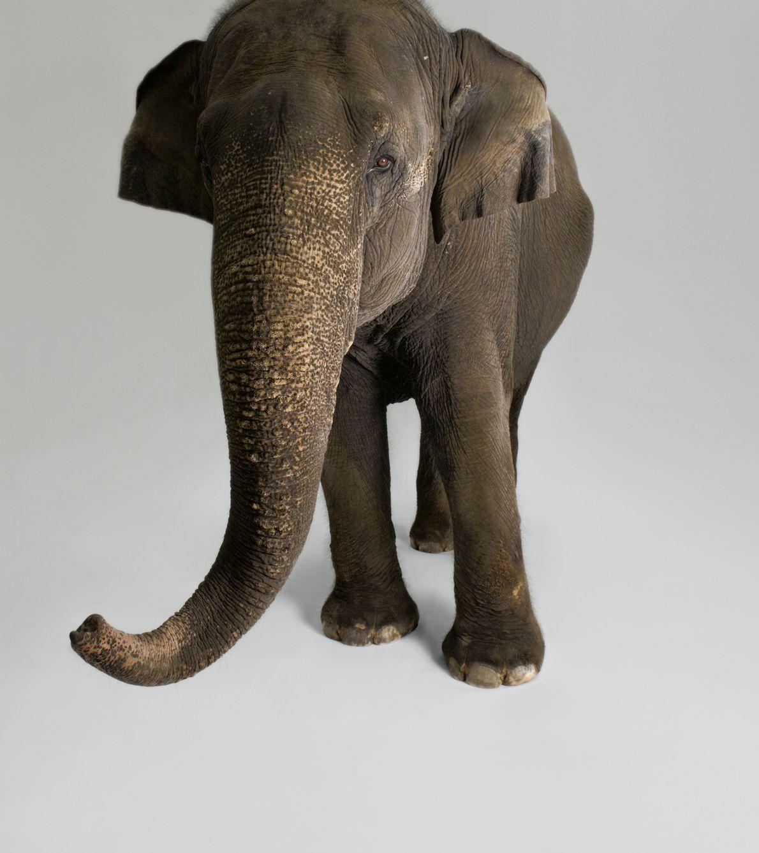 Los investigadores han documentado una amplia gama de comportamientos de los elefantes asiáticos que indican inteligencia, ...