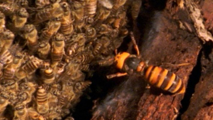 El avispón gigante asiático no es rival para las abejas japonesas