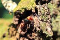 En el noroeste del estado de Washington, se estableció una pequeña población de avispones gigantes asiáticos, ...