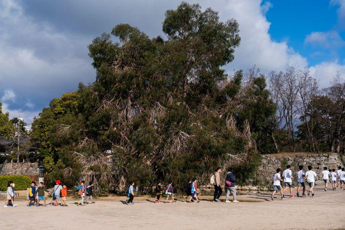 Un grupo de niños pasa delante de un majestuoso eucalipto que sobrevivió al bombardeo atómico, uno ...