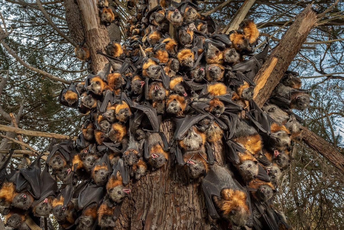 Decenas de zorros voladores de cabeza gris se agrupan para intentar sobrevivir a las temperaturas de 43 ...
