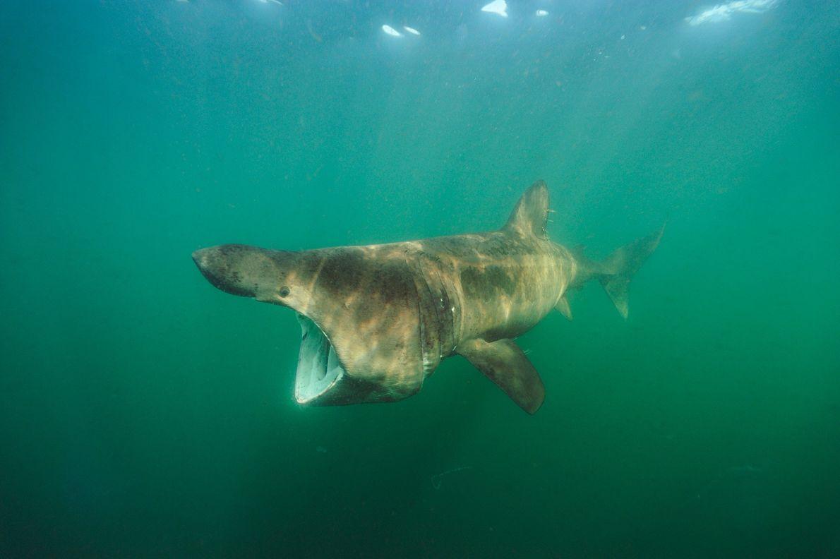Tiburón peregrino. Cape Cod, Massachusetts.