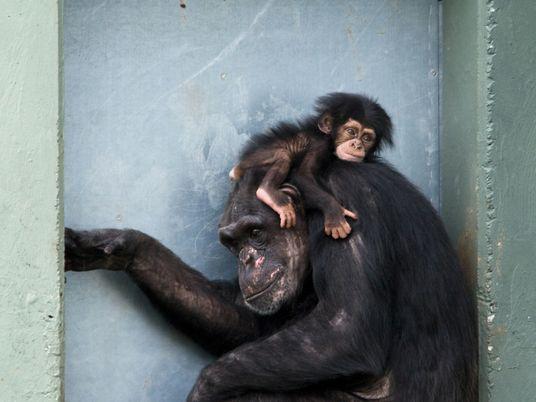 Las madres de los chimpancés son como las de los humanos: se lamentan, miman a sus ...