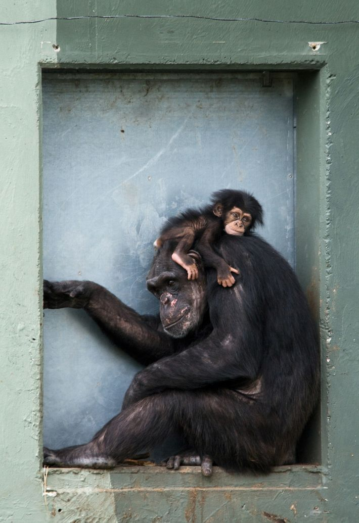 baby-chimp-on-mother