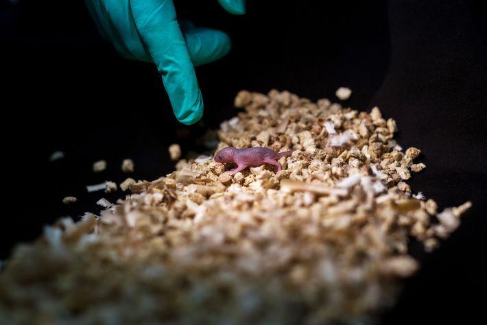 Esta cría de ratón tiene dos padres. Aunque sobrevivió a todo su periodo de gestación, esta ...