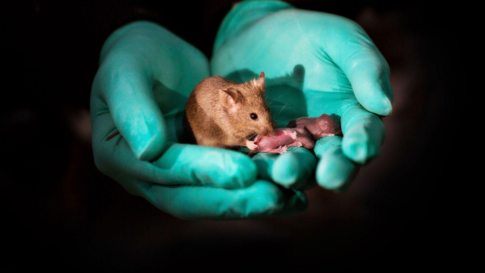 Gracias a la técnica de edición del genoma, dos ratones hembras dieron a luz a esta ...