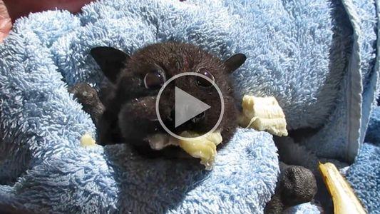 Murciélago bebé rescatada llena sus mejillas con plátano