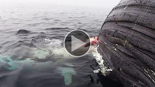 Un gran tiburón blanco devora a una ballena muerta