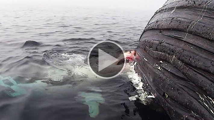 Mira ahora: Un gran tiburón blanco devora a una ballena muerta
