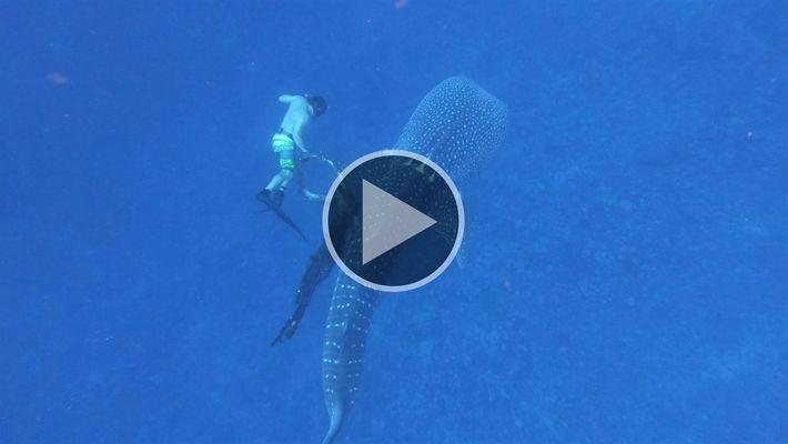 Mira el rescate de un tiburón ballena enredado en una gran soga