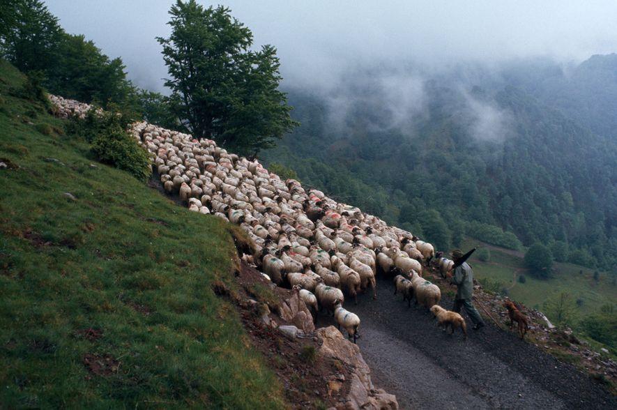 Un pastor vasco dirige cientos de ovejas por una montaña cubierta de nubes en los Pirineos ...