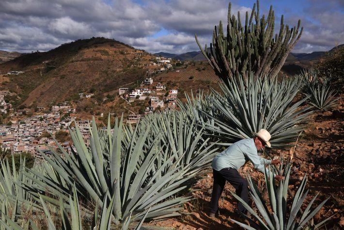 Toribio Hernandez camina por sus campos de agave en Oaxaca, México. Los agricultores cosechan la piña, ...