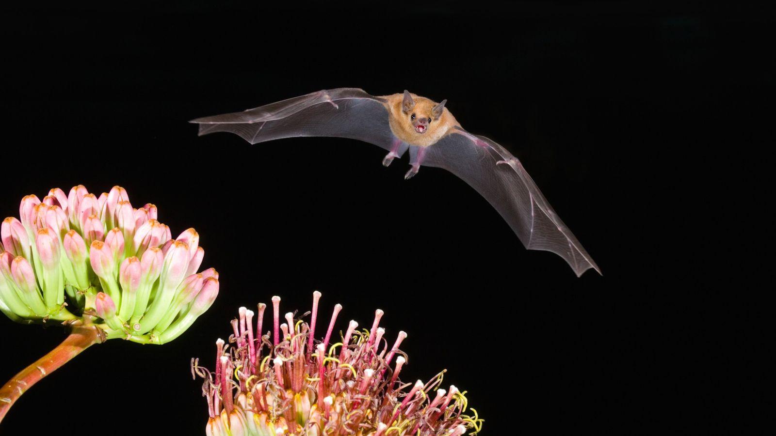 El murciélago magueyero mayor, polinizador fundamental de los ecosistemas desérticos, es una de las únicas tres ...